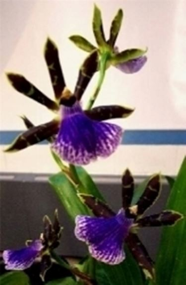 Le orchidee rare phalaenopsis orchidee for Piante rare