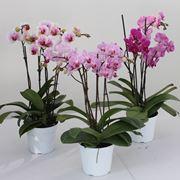 Mini Phalaenopsis