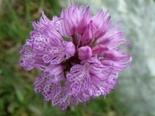 Moltiplicazione orchidee orchidee for Semi orchidea