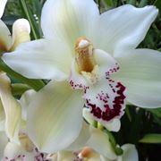 riproduzione orchidee