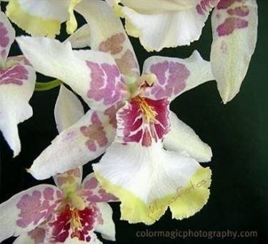 orchidea cambria.