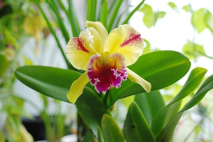 Orchidea cattleya orchidee caratteristiche dell for Semi orchidea