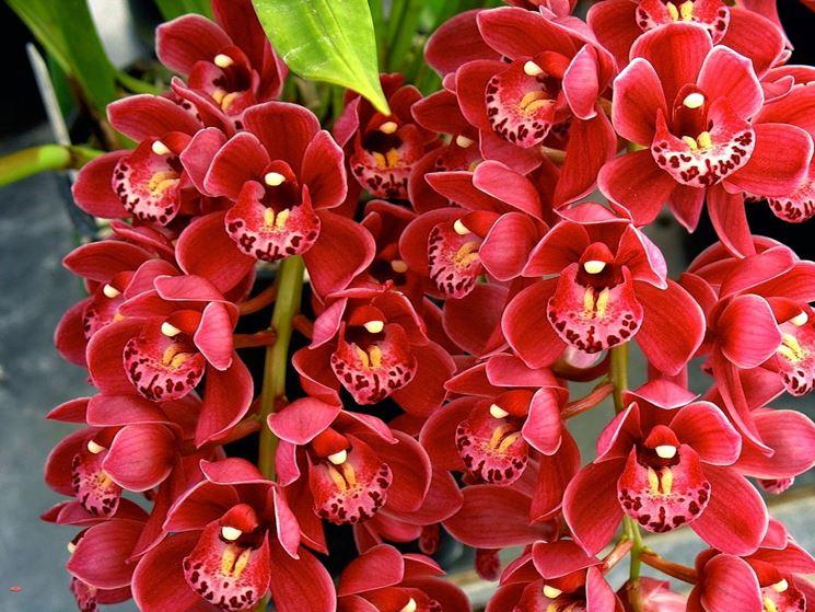 Orchidee Da Esterno.Orchidea Cymbidium Orchidee Caratteristiche Dell
