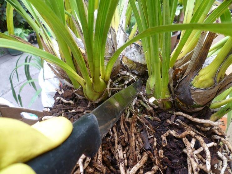radici orchidea cymbidiun
