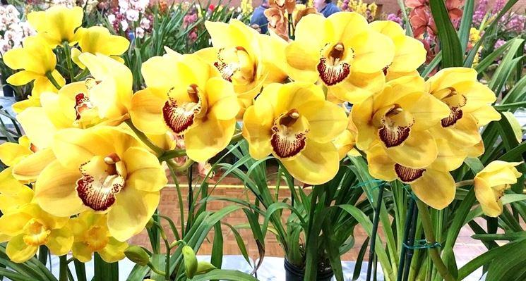 orchidee cymbidium gialle