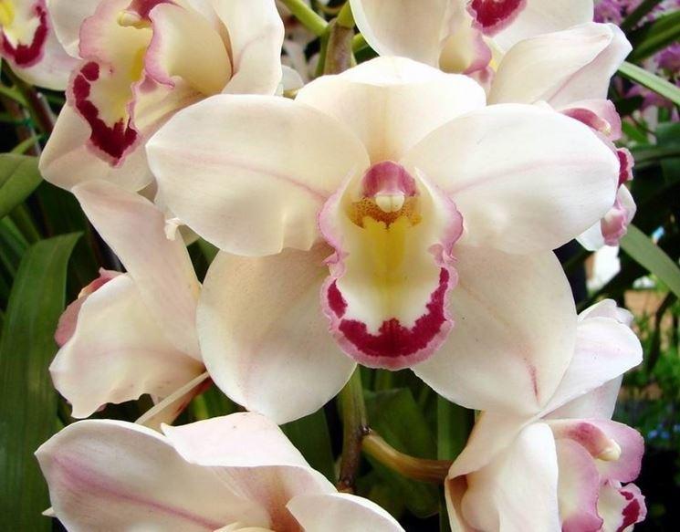 orchidea cymbidium fiore bianco