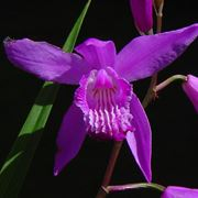 orchidea verde