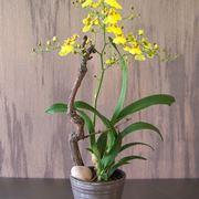Orchidee oncidium orchidee for Orchidea foglie gialle