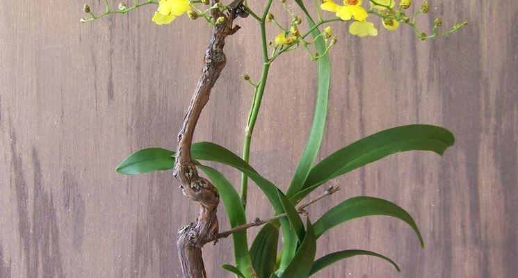 Vaso di Oncidium gialle