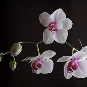 Irrigazione dell'Orchidea Phalaenopsis