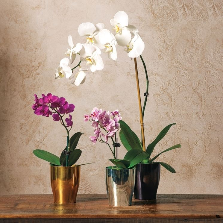 Orchidea Phalaenopsis in vaso