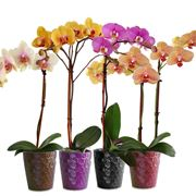come curare le orchidee phalaenopsis