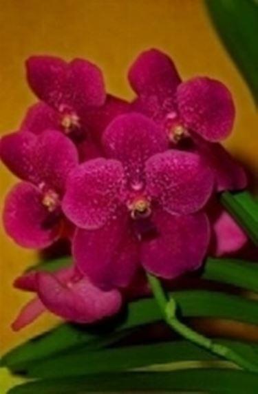 rosa fucsia orchidea.