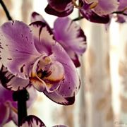 orchidea vanda