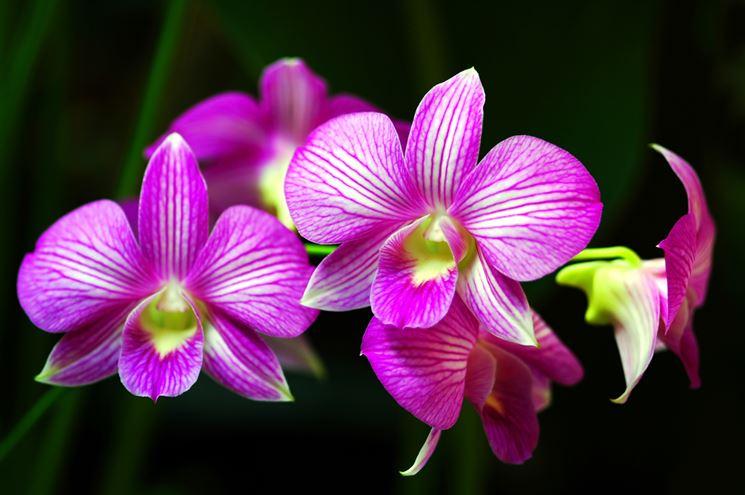 Orchidee fiori