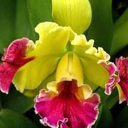 Orchiedee cattleya gialle e fucsia