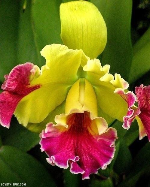 Come Coltivare Le Orchidee In Casa : Orchidee cattleya appartamento