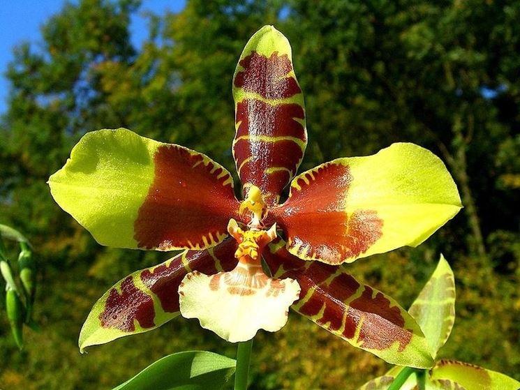 Fiore di orchidea Odontoglossum