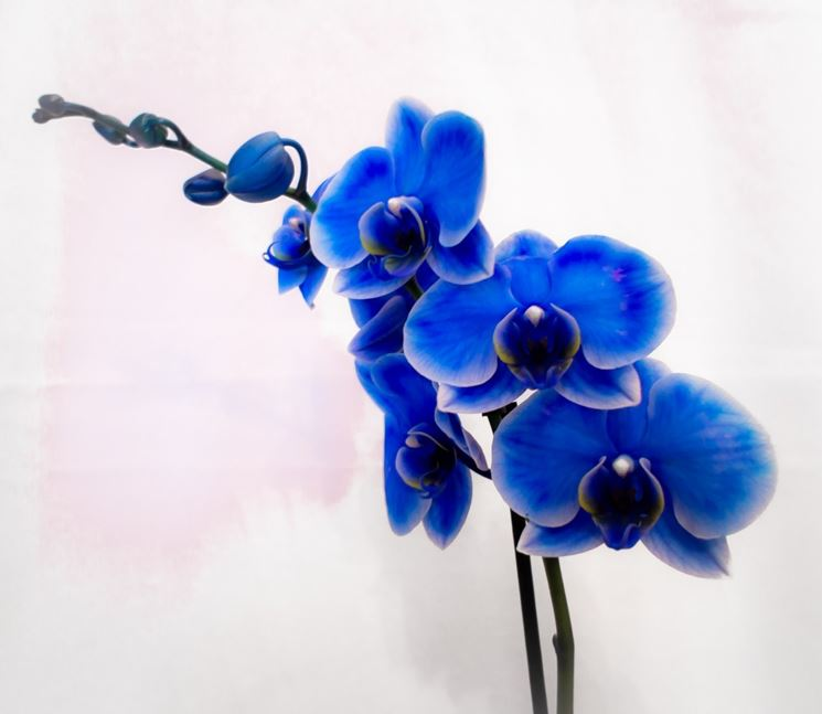Fiore di orchideaa Phalaenopsis