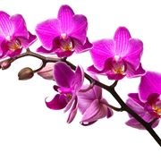 orchidee come curarle