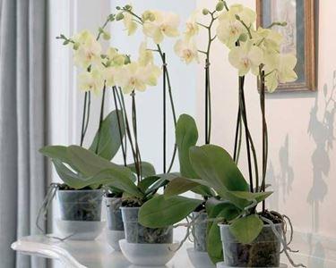 L'immersione � la tecnica migliore per innaffiare le orchidee