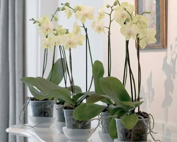 Orchidee cura orchidee cura delle orchidee - Vaso in gres per orchidee ...