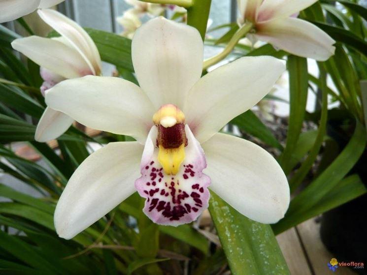 Orchidee Cymbidium bianche