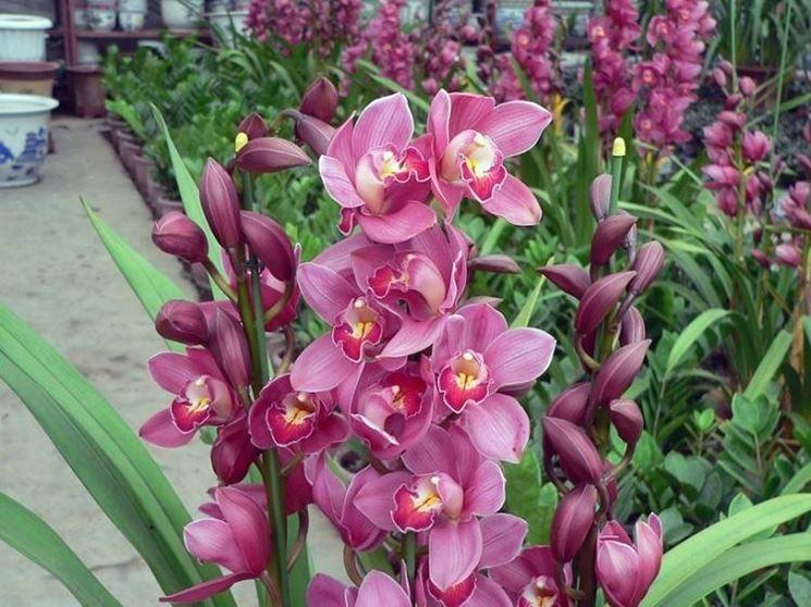 Orchidee cymbidium orchidee caratteristiche delle for Orchidee da esterno