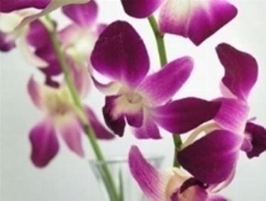 dendrobium bianco viola