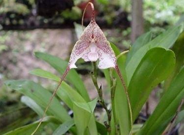 orchidea dracula.