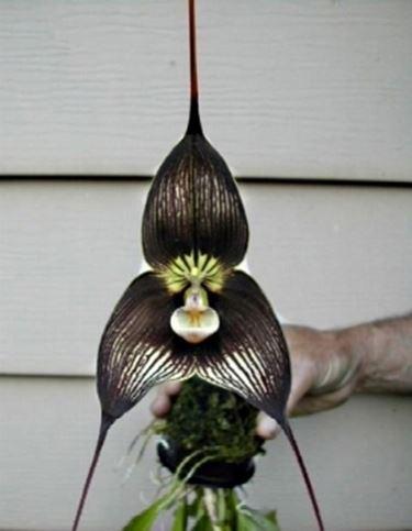 orchidea dracula fiore.