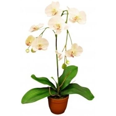 Orchidee in casa phalaenopsis orchidee - Orchidee da appartamento ...