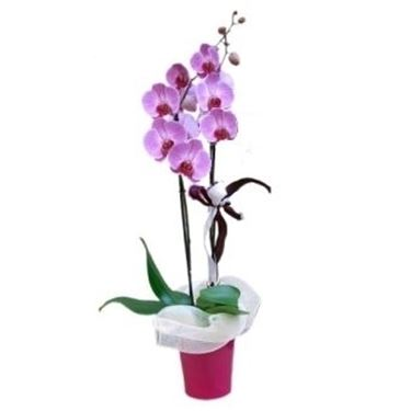 orchidea viola in vaso