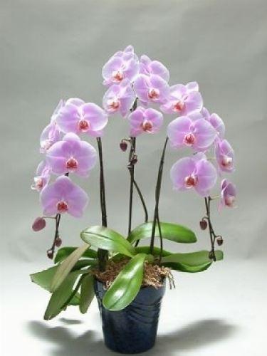 Orchidea coltivata in casa