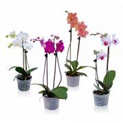 Piante di orchidee phalaenopsis