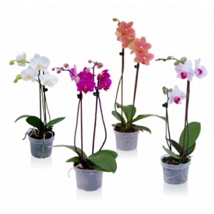 Orchidee in vaso orchidee coltivazione orchidee in vaso for Vaso orchidea