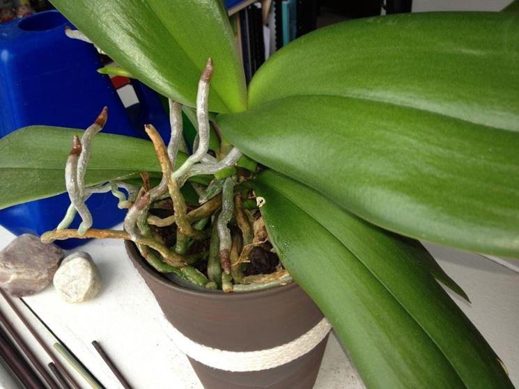 Radici aeree della pianta di orchidee