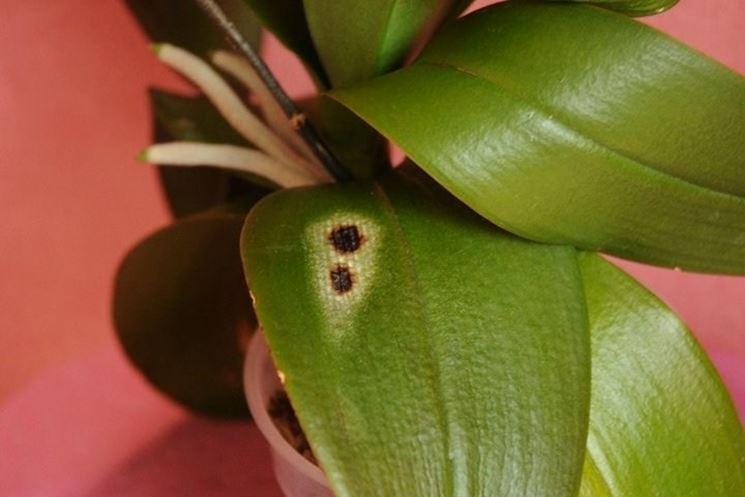 Pianta di orchidea colpita da malattia fungina