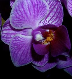 fiore di una mini orchidea.