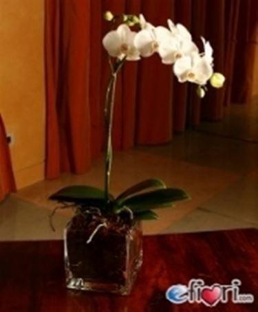 Un bellissimo esemplare di orchidea Phalaenopsis