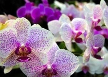 orchidea rosa e bianca.