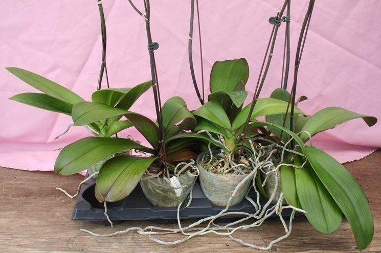 radici dell'orchidea