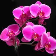 phalaenopsis cura