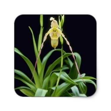 phragmipedium in cornice.