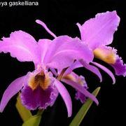 Cattleya lilla