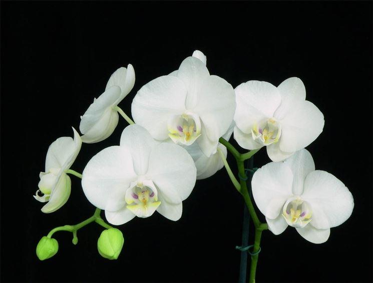 phalaenopsis cura orchidee phalaenopsis cura. Black Bedroom Furniture Sets. Home Design Ideas