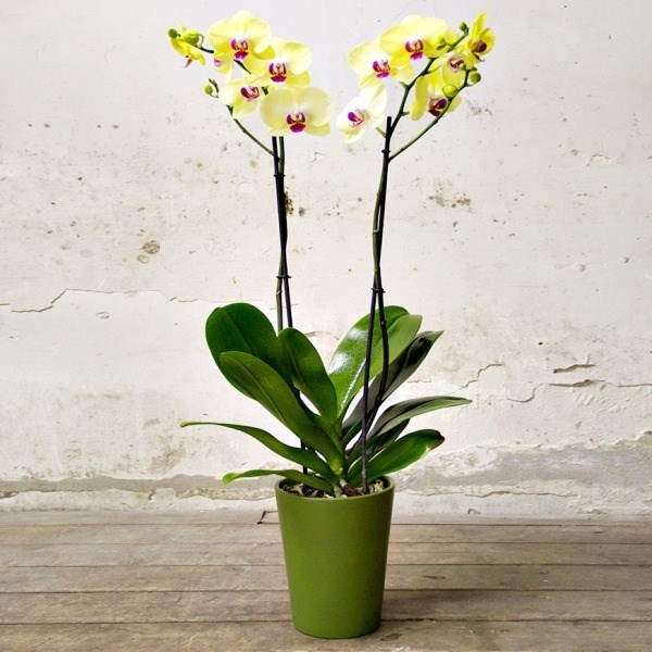 Phalaenopsis cura orchidee phalaenopsis cura for Manutenzione orchidee in vaso