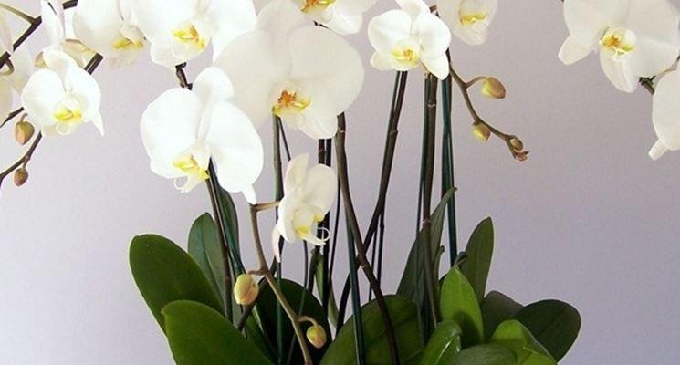 Piante di orchidee orchidee piante orchidee - Orchidee da appartamento ...