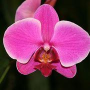Un'orchidea del genere Phalaenopsis