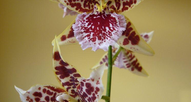 Un'orchidea del genere Cambria